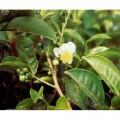 Чайное дерево - эфирное масло