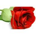 Роза 15 мл.