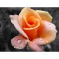 Роза чайная 15 мл