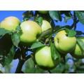 Антоновка яблоко 20 мл