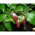 Корица (листья) - эфирное масло